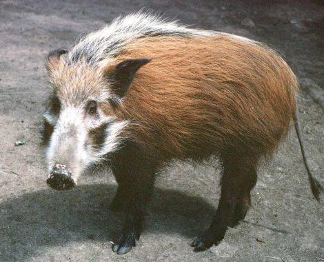 Bosvark